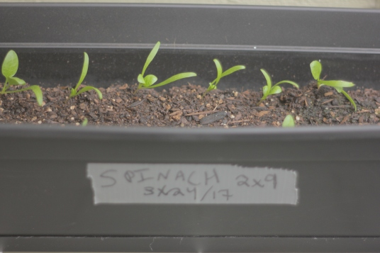 About half of the spinach I planted sprouted, so I have re-planted more seeds where I have space.